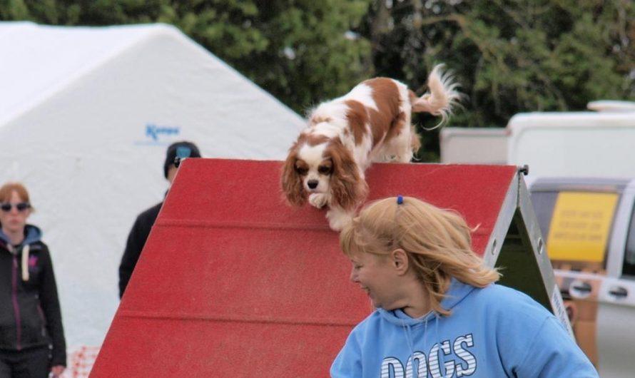 Hetty does agility